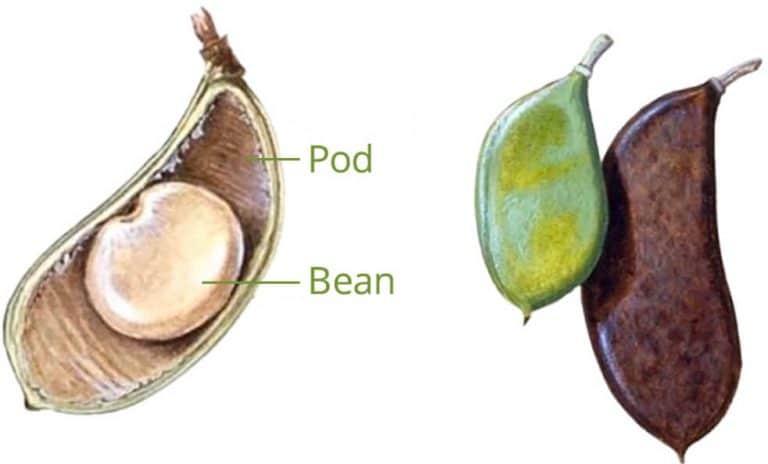 Pongamia bean and pod