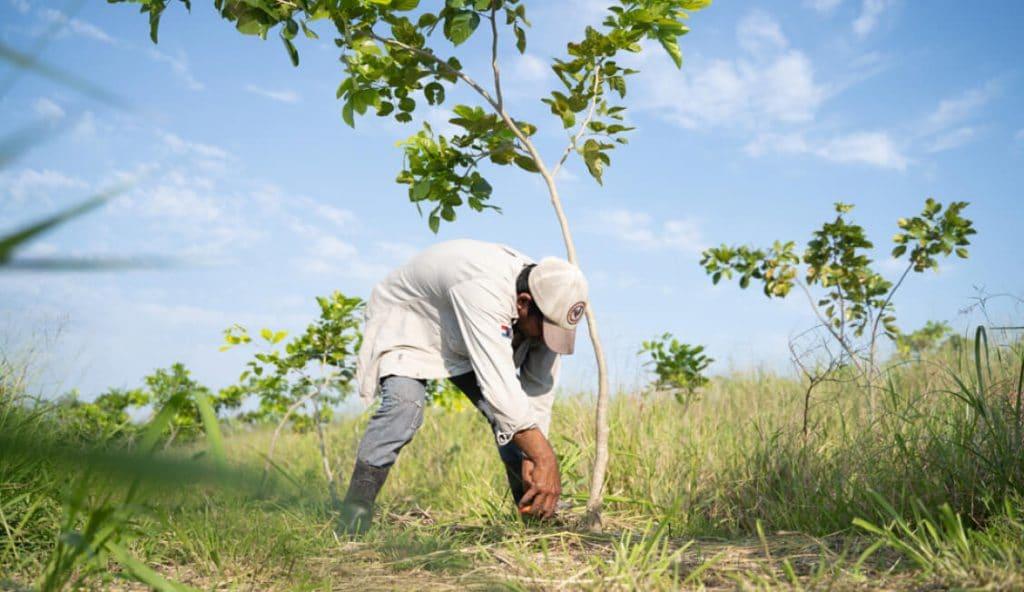 Pongamia Tree Planting